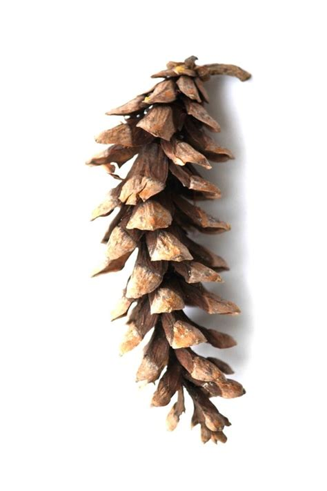 white pine cone cone eastern white pine my style pinterest