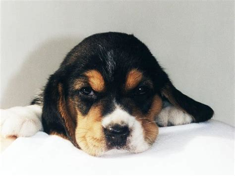 how much does a beagle puppy cost beagle puppy jpg 1 comment