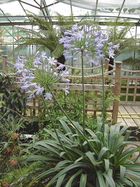 buy agapanthus africanus for sale and mail order online plants to purchase african blue lily