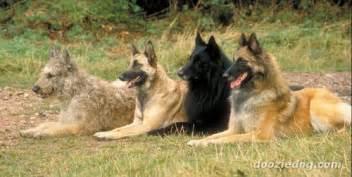 belgian sheepdog as guard dog los 4 tipos de pastores belga pastores belga fotolog