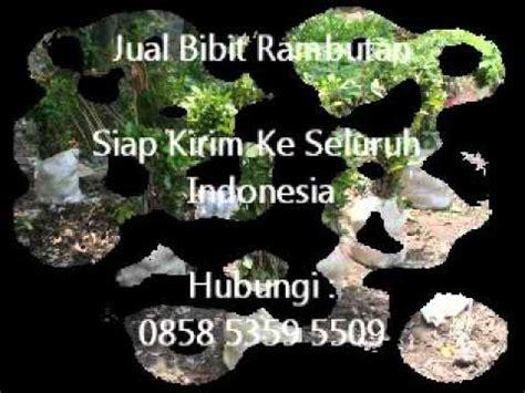 Jual Bibit Rambutan Di Makassar jual bibit rambutan di surabaya jawa timur hub 0858 5359