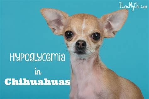 hypoglycemia in puppies hypoglycemia in chihuahuas i my chi