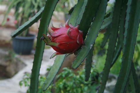 Sale Buah Naga Merah buah naga merah yang kaya manfaat sentulfresh indonesia