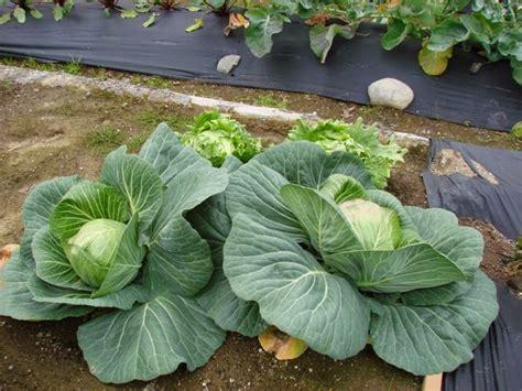 Benih Biji Sayuran Bunga Kol Kembang Kol Import benih sayuran murah bibit sayuran unggulan jual benih