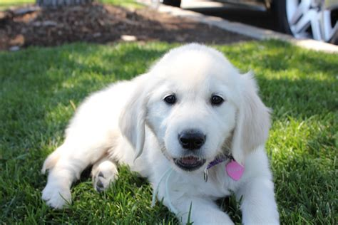 golden retriever forums sleepy puppy golden retrievers golden retriever forums