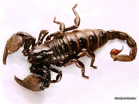scorpion animal wildlife