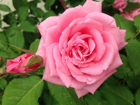 Garden Roses by Garden Roses Dreamery Events