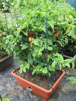 tomato plants  varieties   choose