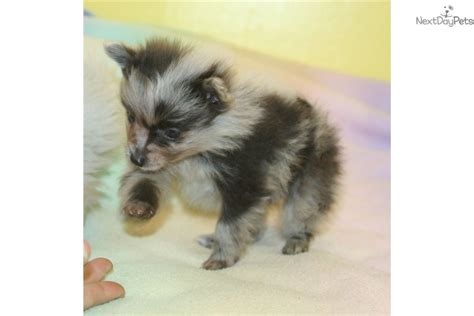 merle pomeranian puppies for sale pomeranian puppy for sale near grand island nebraska a64add60 0181