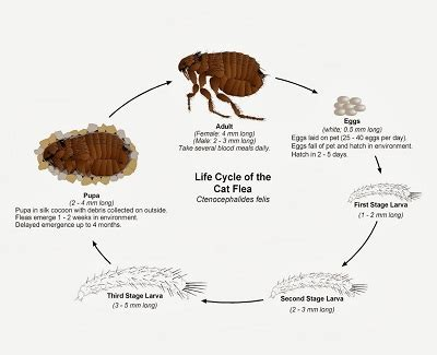 how to rid fleas in house natural way to getting rid of fleas in your house permanently kravelv