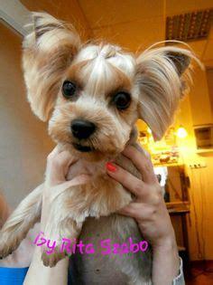 yorkie splash and shine uk asian fusion grooming york on yorkie terrier and grooming