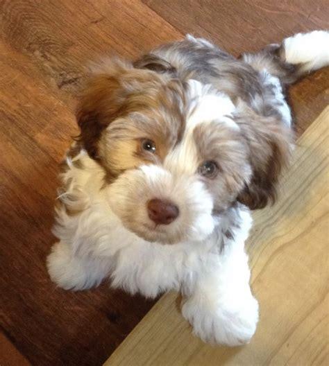 how big havanese dogs get s 2nd litter hush harbor havanese puppies for sale