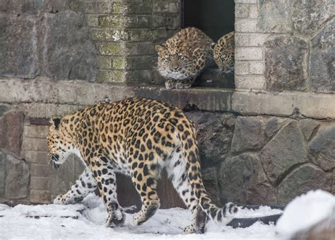 bca zoo day leopard cubs make their public debut at potawatomi zoo