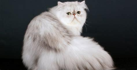 gatto persiani il gatto persiano oasy