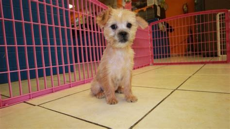 yorkie poos for sale in ga hypoallergenic yorkie tzu puppies for sale in at puppies for sale local breeders