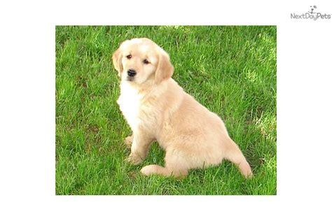 golden retriever puppies utah golden retriever puppy for sale near salt lake city utah d548b18d df61