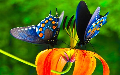 colorful butterfly wallpaper free download butterflies full hd wallpaper and background image