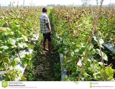 Plantation De Melon by Plantation De Fruit De Melon Photographie 233 Ditorial