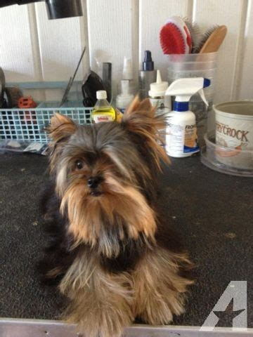 yorkies for sale in lafayette la baby doll 2 lb t cup yorkie for sale in lafayette louisiana classified