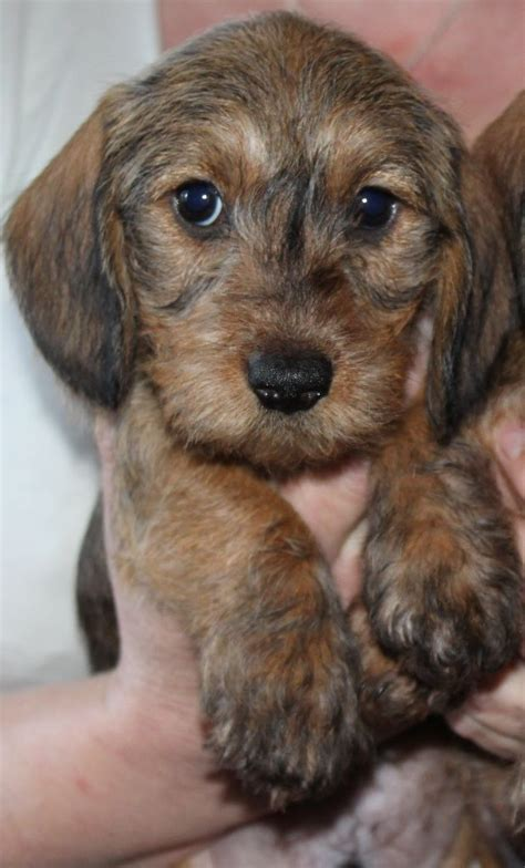 miniature haired dachshund puppies miniature wire haired dachshund puppies in rainworth nottinghamshire gumtree