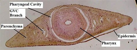 Cross Section Of Planaria by Zoology Lab Midterm At Pensacola State College Studyblue