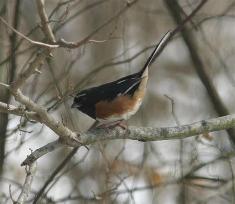 ohio bird photo collection eastern towhee