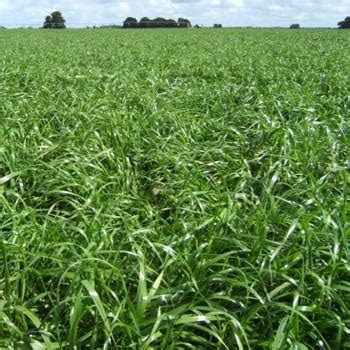 annual ryegrass seed cover crop