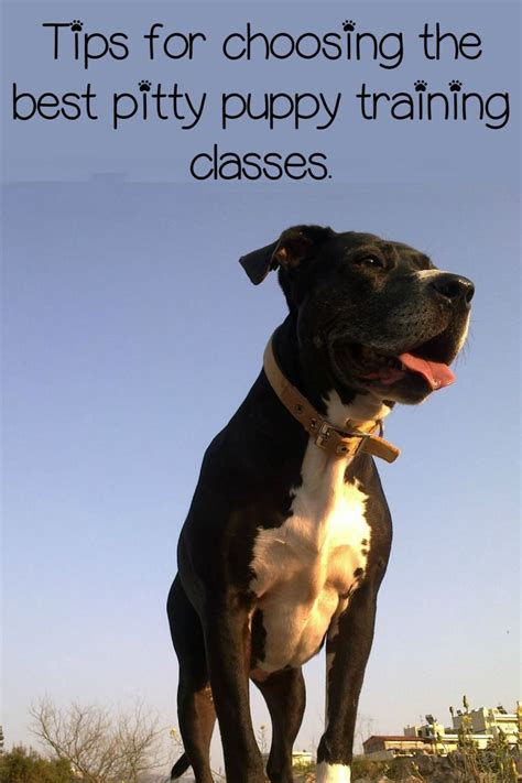 pitbull puppy tips pitbull puppy tips classes dogvills