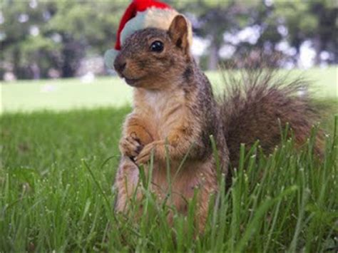 funny christmas poem   conniving squirrel