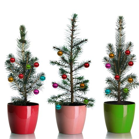 grow your own mini living christmas tree