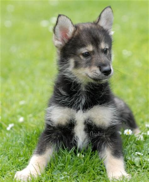 pomsky puppies for sale in illinois pomsky puppies for homes for sale in central illinois design jpg breeds picture