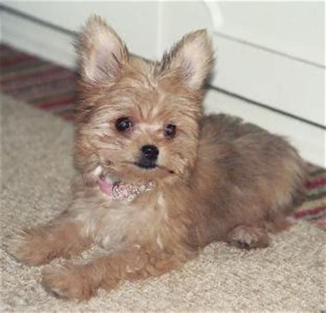 chorkie haircut styles chorkie information pictures reviews and q a