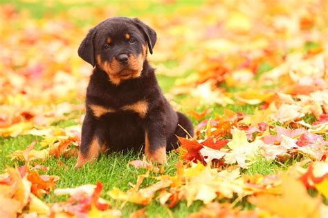 taking care of rottweiler puppies how to take care of a puppy