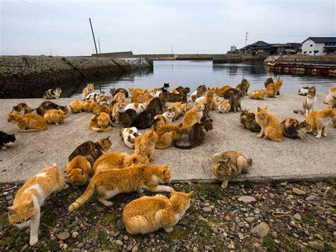 cat island in japan cat island in japan 50 amazing pictures funnycatsgif com