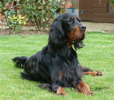 gordon setter therapy dog 1000 images about dogs gordon setter on pinterest
