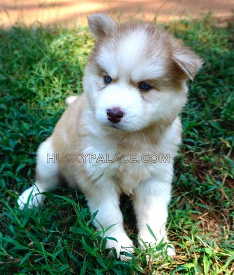 Husky Puppies adorable siberian husky pictures of past puppies husky