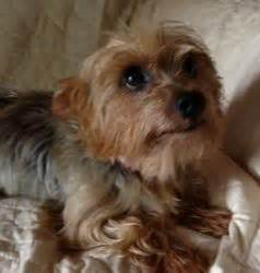 20 pound yorkie best 20 terrier rescue ideas on yorkie yorkie puppies and