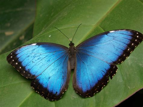 blue wallpaper with butterflies blue butterfly wallpapers photos