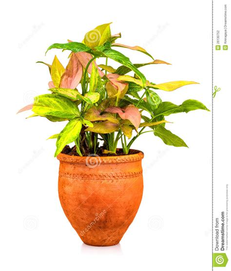 Tropical Plant Planted On A Red Clay Pot Stock Photo
