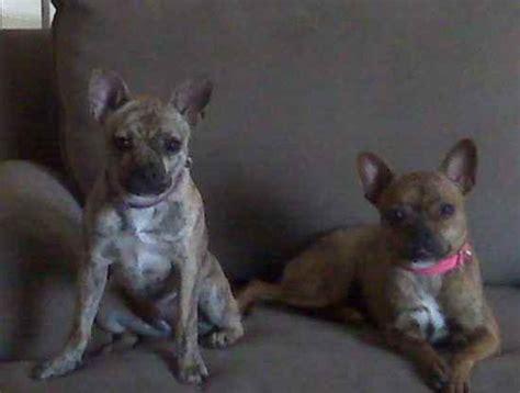 bullhuahua puppies for sale 302 found