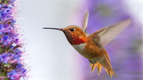 can i install hummingbird flying on a christmas tree wallpaper 1366x768 hummingbird flying wings