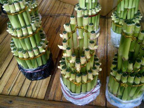 Jual Bibit Bambu Hoki jual jual bambu hoki tanaman indoor rizki tanaman