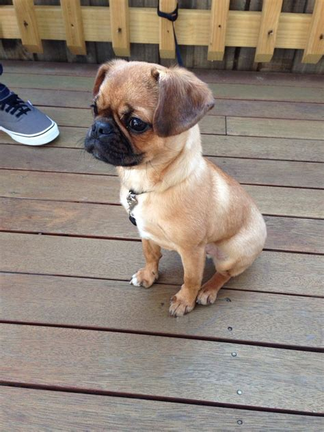 breeds that look like pugs breed 114 best pug mixes images on doggies dogs and pug mix