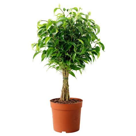 ikea plants ficus benjamina natasja potted plant weeping fig 12 cm