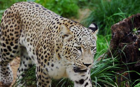 imagenes jaguar felino fotos de felinos
