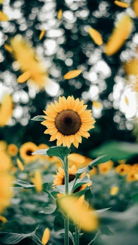 pin  farisha husain  wallpaper sunflower wallpaper