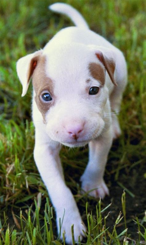craigslist pitbull puppies 12 tips for responsible pitbull ownership pit bull owners