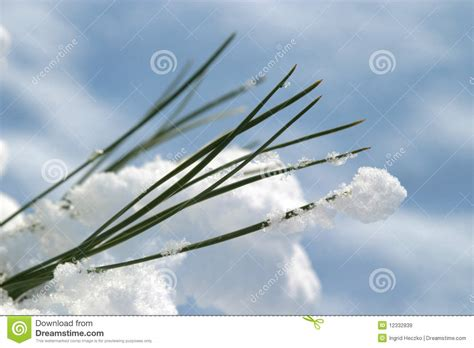 snow needle pine tree snow on pine tree needles royalty free stock images