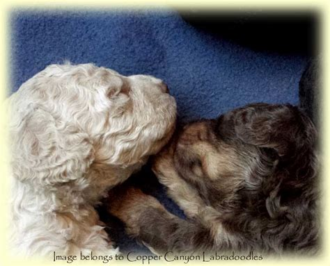 mini doodle edmonton tawney s 2015 mini labradoodle puppies copper