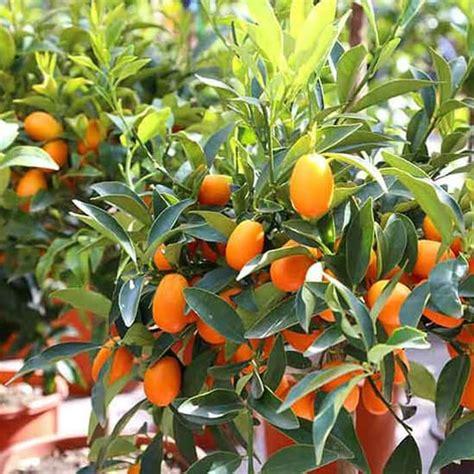 beli disini bibit jeruk nagami tinggi cm gratis pot